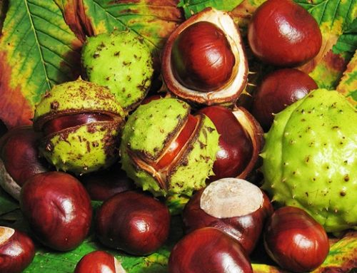 Vadgesztenye (Aesculus hippocastanum)